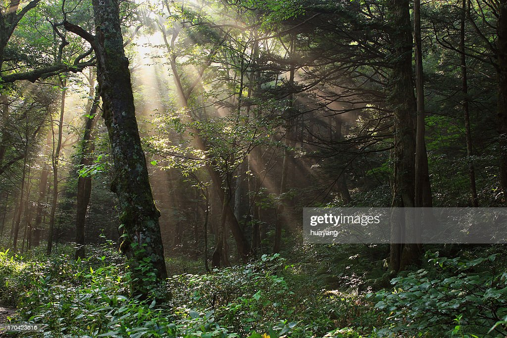 Sunrise light at forest : Stock Photo