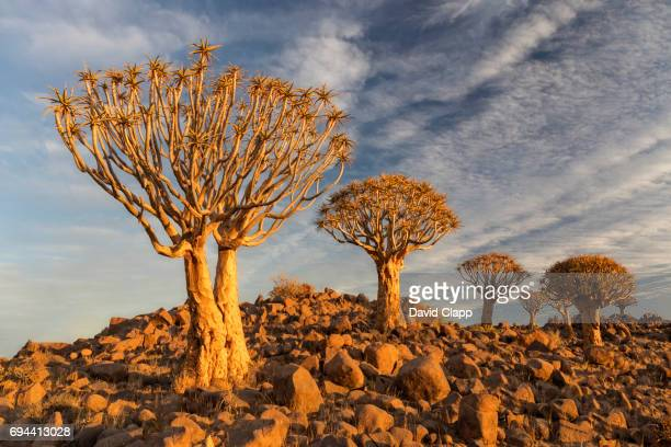 Sunrise light on Quiver trees in Namibia