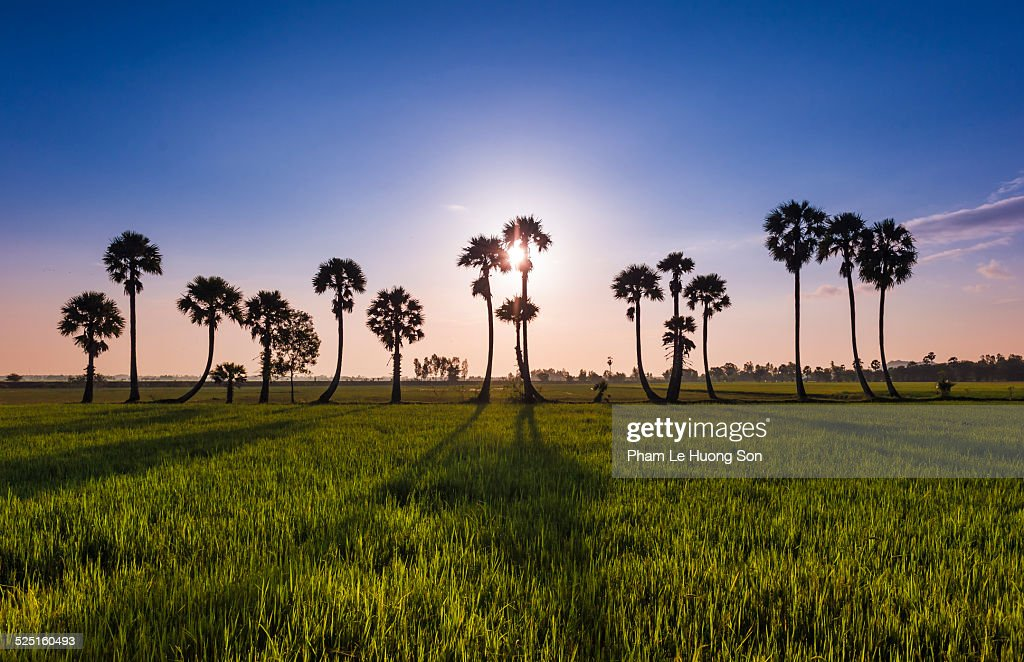 Sunrise on the rice paddy with the palm trees