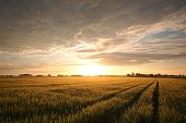 Sunrise over a field of grain, May, Poland.