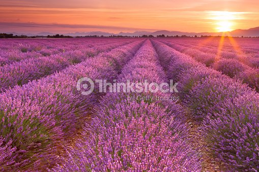 sonnenaufgang auf bl henden felder aus lavendel in der provence frankreich stock foto thinkstock. Black Bedroom Furniture Sets. Home Design Ideas