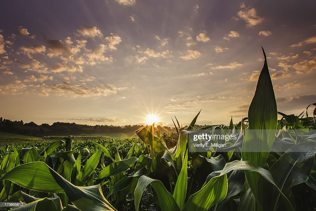 Sunrise over field of crops in France