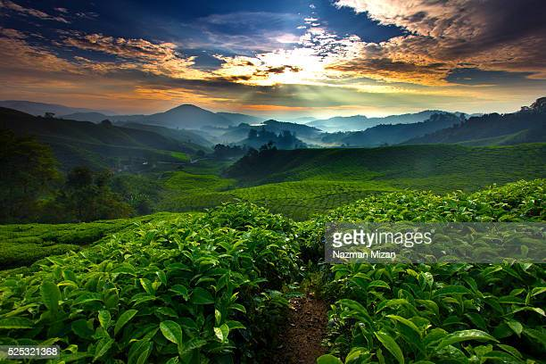 Sunrise over tea farm