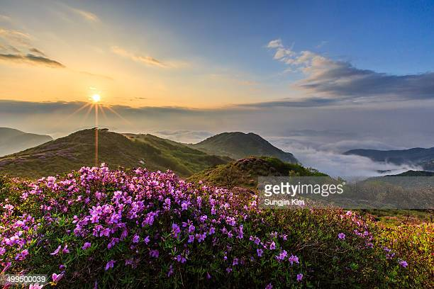 Sunrise over the azalea at the mountain
