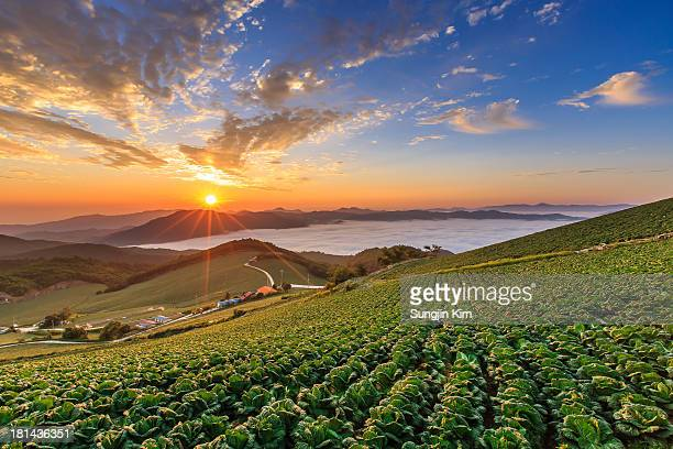 Sunrise over the cabbage field