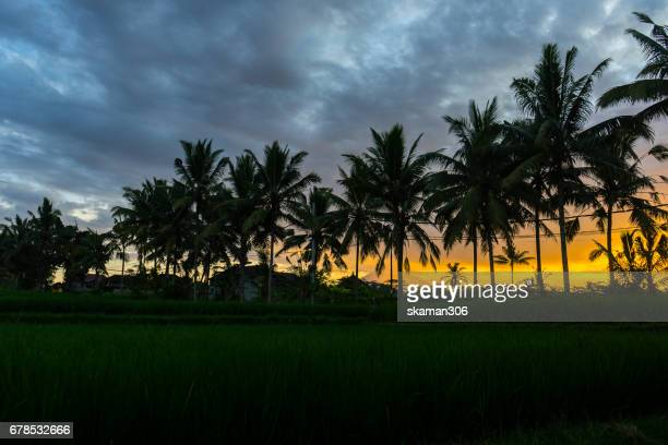 Sunrise over the coconut tree with the green rice field