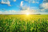 sun rise over the corn field