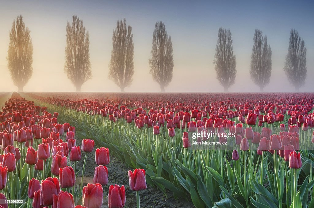 Sunrise over the Skagit Valley Tulip Fields : Stock Photo