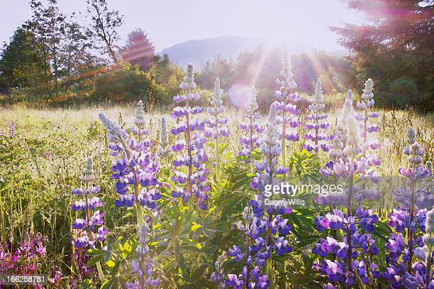 Sunrise over Wildflowers