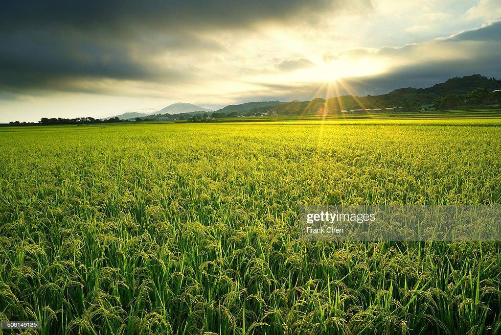 Sunrise rice fields in harvest season