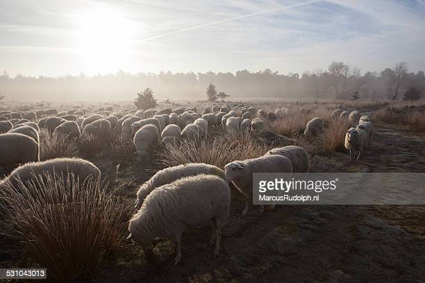 sunrise sheep