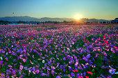 sunrise upon sea of flowers