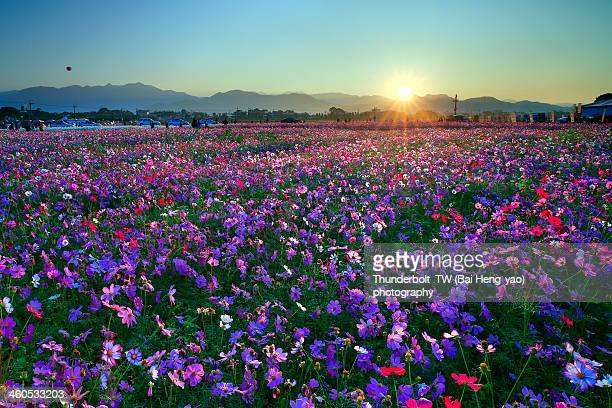 sunrise upon sea of flowers