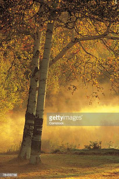 Sunrise with birch tree