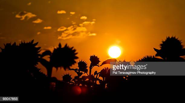 Sunrise with sunflowers