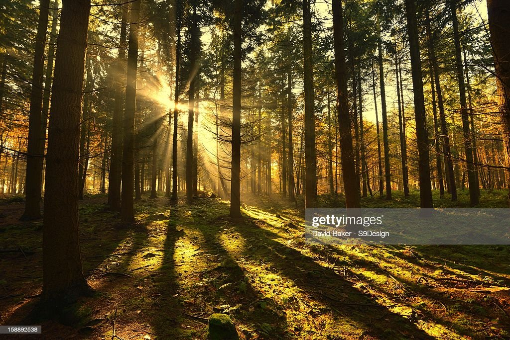 Sunrising in misty woods with long shadows : Stock Photo