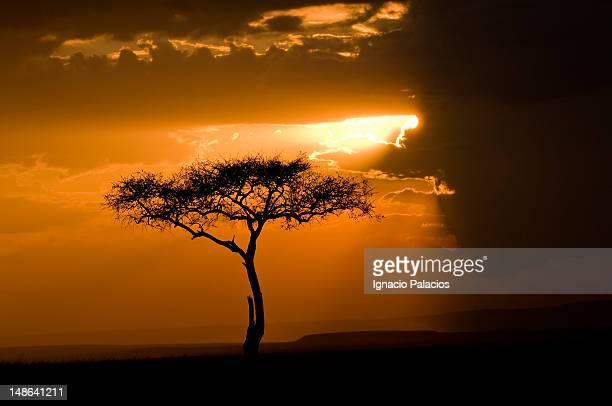 Sunset and acacia tree in the Masai Mara reserve.