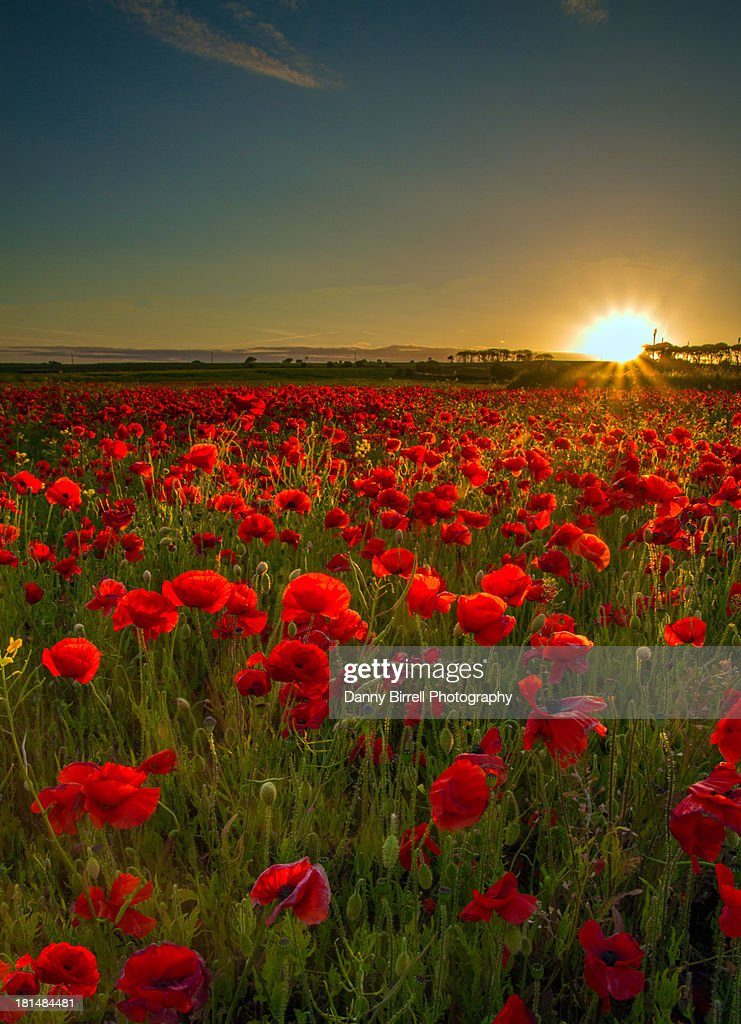 Sunset At Poppy Field