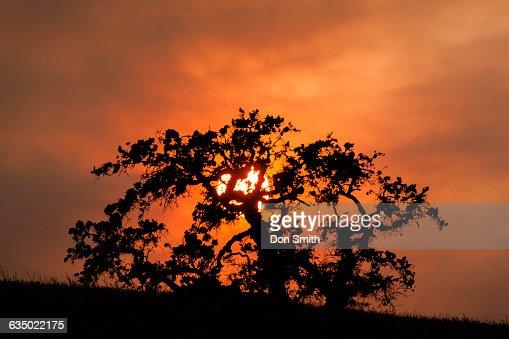 Sunset Behind Oak