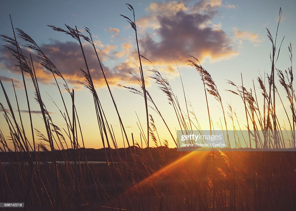 Sunset Being Visible Through Blades Of Grass