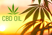 Sunset cannabis field. Marijuana plants. CBD oil cannabis extract, medical concept.