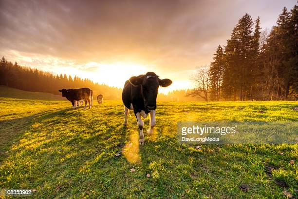 Sunset Cattle