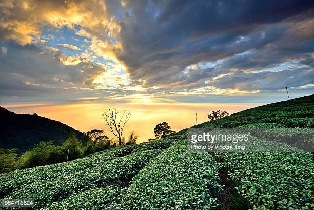 Sunset clouds at tea field