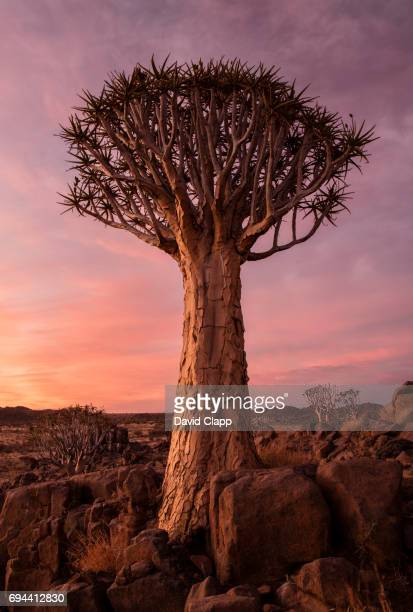 Sunset colours behind Quiver trees in Namibia