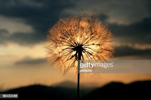 dandelion sunset related keywords - photo #11