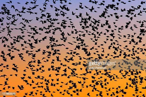 Sunset flock of birds