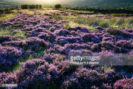 Sunset glow on purple heather