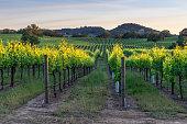Sunset in the vineyards in Heladsburg, California
