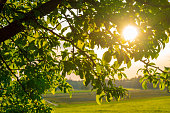 Setting sun seen through the leaves of an apple tree