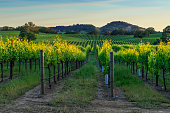 Sunset in the vineyards of Sonoma County, CA