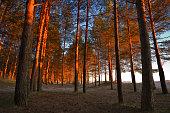 Pine woodland at evenibg sunlight