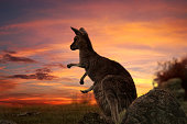 Mother kangaroo with joey in pouch, legs sticking out on a fiery sunset evening in outback NSW