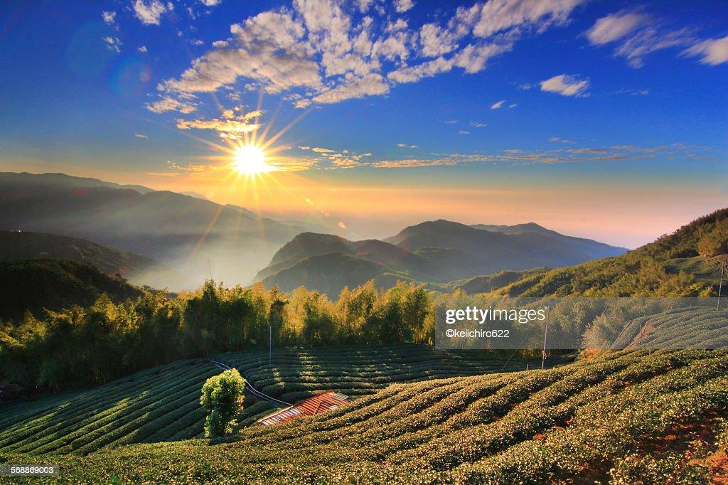 Sunset Landscape mountain tea garden