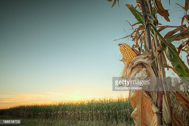 Sunset on the corn field