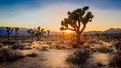 A joshua tree silhouetted by the setting sun in the Mohave Desert