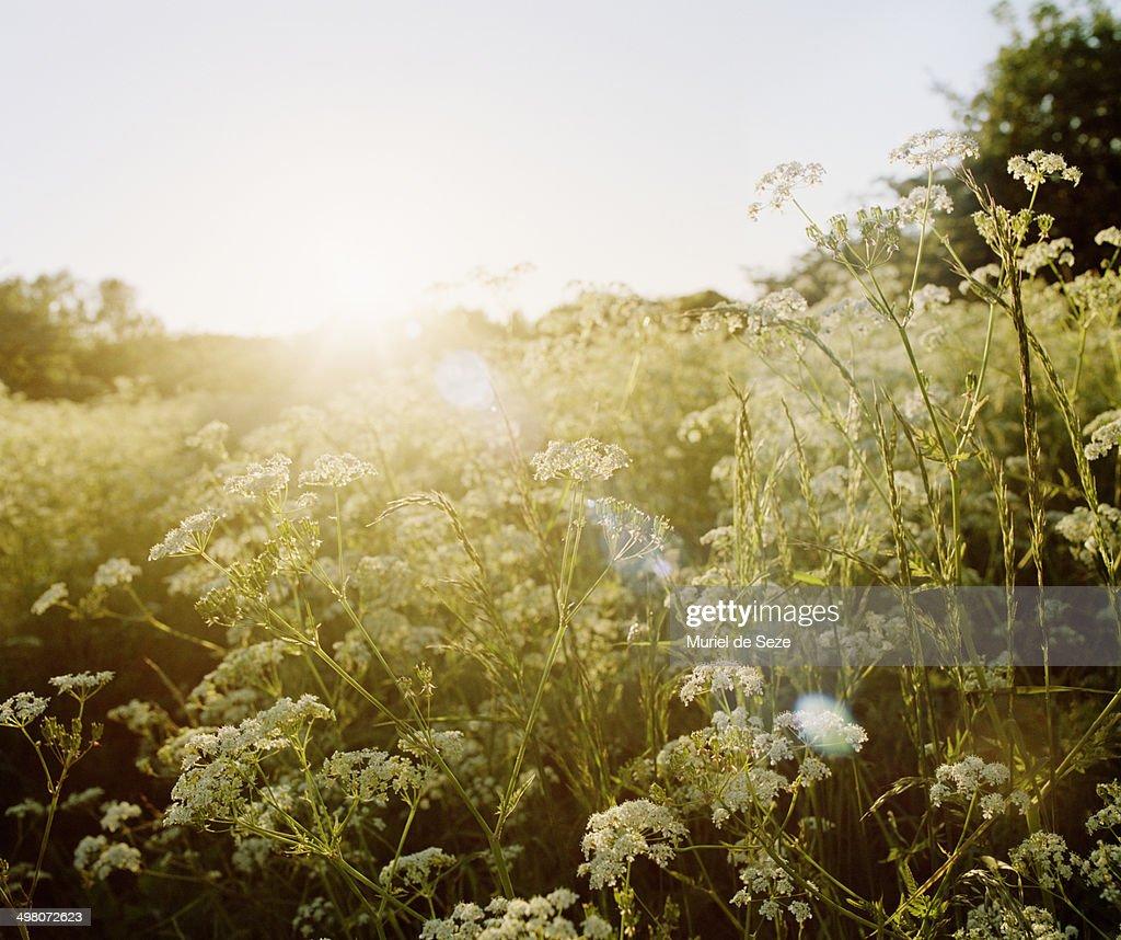 Sunset on wild flowers field