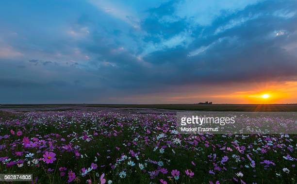 Sunset over an infinite meadow of cosmos flowers in bloom on the South African Highveld in Mpumalanga