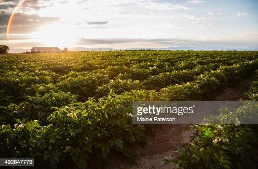 Sunset over potato field, Colorado, USA