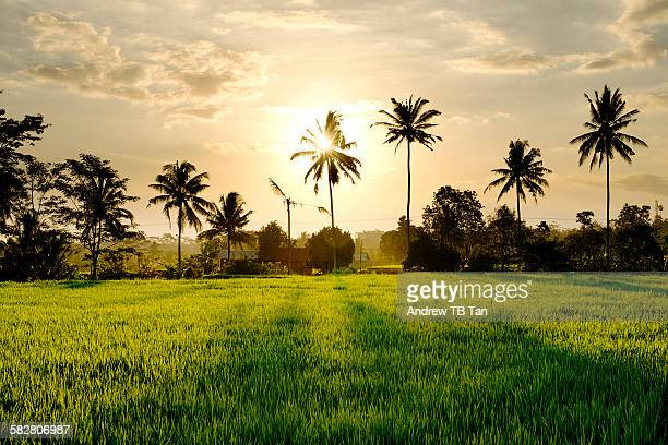 Sunset over rice field with palm trees