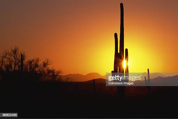 Sunset over saguaro cactus