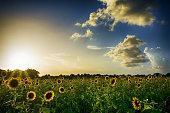 Sunset over sunflower field