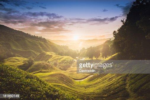 Sunset over tea plantation in Malaysia