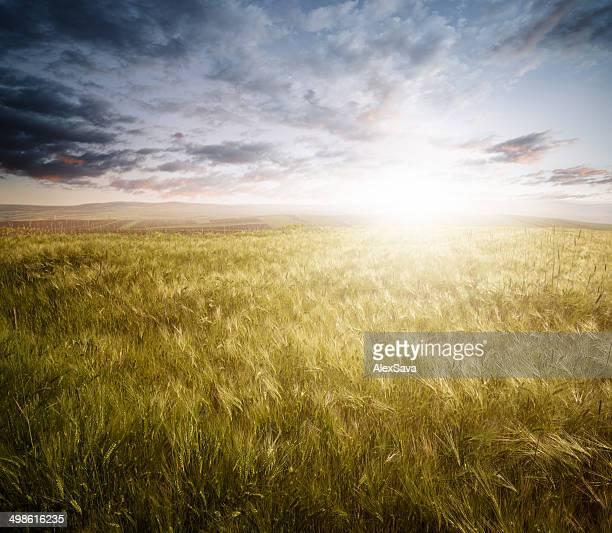 小麦のフィールドに沈む夕日