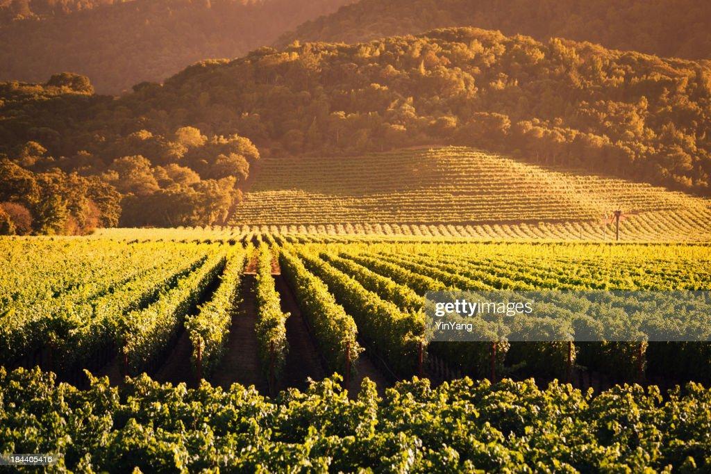 Sunset Over Vineyard in Napa Valley California Hz