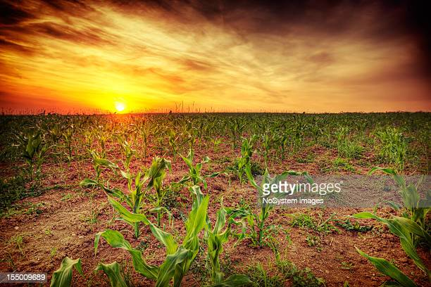 Coucher de soleil sur champ de maïs Jeune