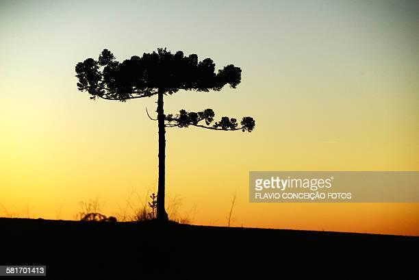 Sunset pine tree